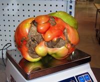 2013 Fabrice Boudyo 6.83 pounds Tomato